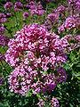Centranthus ruber 2007-06-02 (flower).jpg
