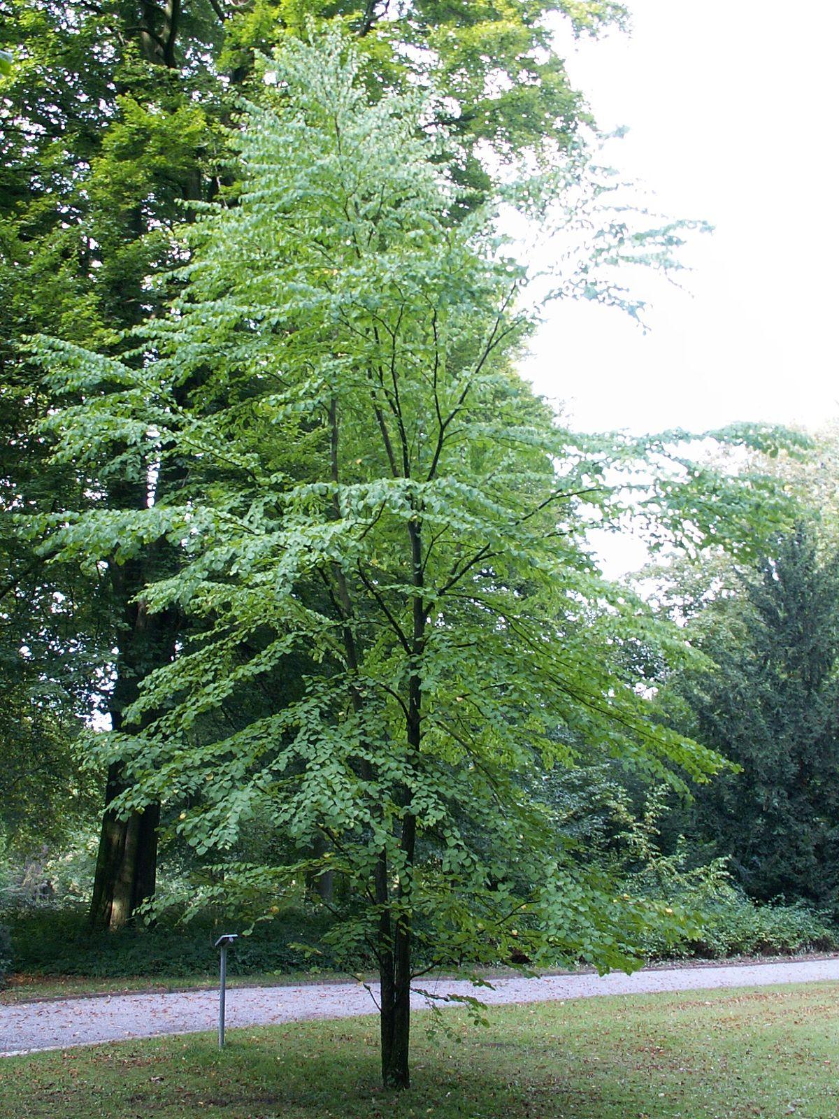 Japanischer Kuchenbaum (Cercidiphyllum japonicum)