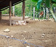 Cerdo (1240780156) Quesada, Alajuela, Costa Rica.jpg