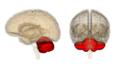 Cerebellum.png