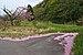 Cerisier et pétales roses - 2016-05-01.jpg