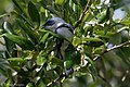 Cerulean Warbler (male) Anahuac NWR-Jackson Prairie Woodlot TX 2018-04-24 14-43-22-2 (27187725757).jpg