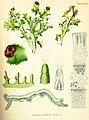 Cetraria islandica (Köhler).jpg