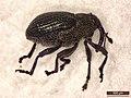 Ceutorhynchus contractus (39878821075).jpg