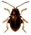 Chaetocnema aridula.png