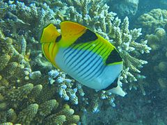 Black-wedged butterflyfish (Chaetodon falcula)