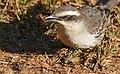 Chalk-browed Mockingbird (Mimus saturninus) with small beetle.jpg