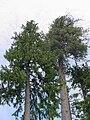 Chamaecyparis lawsoniana Dorena2.jpg