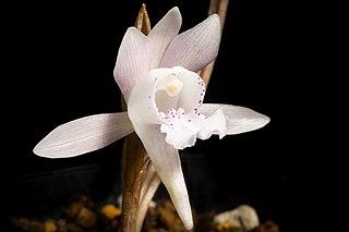 <i>Changnienia</i> Genus of orchids