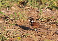 Chestnut-backed sparrow-lark,Eremopterix leucotis at Mapungubwe National Park, Limpopo, South Africa (17752177518).jpg