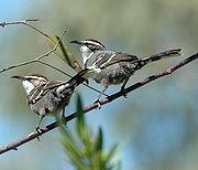 Chestnut-crowned Babbler bowra apr07