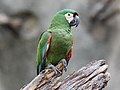 Chestnut-fronted Macaw RWD.jpg