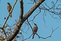 Chestnut tailed Starling 1.jpg