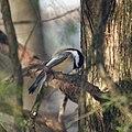 Chickadee (4200327051).jpg