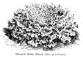 Chicorée Reine d'hiver Vilmorin-Andrieux 1904.png