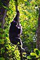 Chimpanzee, Uganda (15210995389).jpg
