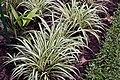 Chlorophytum comosum 15zz.jpg