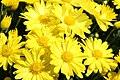 Chrysanthemum Sunny Tasha 0zz.jpg