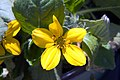Chrysogonum virginianum 6zz.jpg