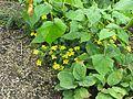 Chrysogonum virginianum australe - Flickr - peganum.jpg