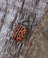 Chrysomela vigintipunctata (Chrysomelidae) - (imago), Zemst, Belgium.jpg