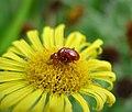 Chrysomelidae (37144222025).jpg