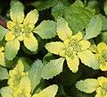 Chrysosplenium nagasei (flower s6).jpg