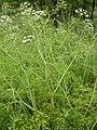 Cicuta virosa creutzwald 57 02072005 3.JPG