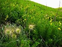 Clematis integrifolia, Adonis vernalis.jpg