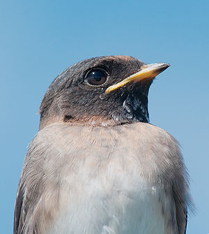 Cliff swallow 7488.jpg