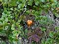 Cloudberry in Yugyd Va N.P (cropped).jpg