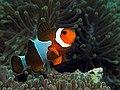 Clownfish sprain small.jpg
