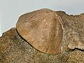 Clypeasteridae - Clypeaster sp..JPG