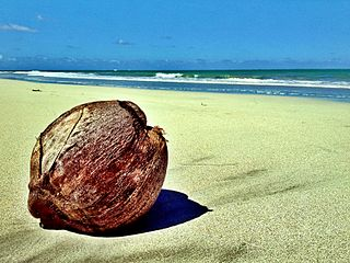 Kokosový orech vyplavený vodou na pláž