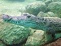 Cocodrilo en Biouniverzoo, Chetumal, Q. Roo - panoramio.jpg