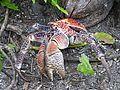 Coconut Crab - Palmyra Atoll NWR (4945529831).jpg