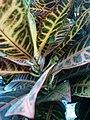 Codiaeum variegatum F2.jpg