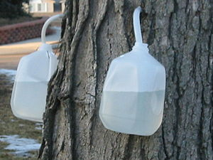 The sap from sugar maple trees are being colle...