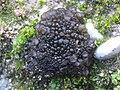 Collema tenax (Sw.) Ach 306733.jpg