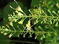 Collinsonia canadensis SCA-04297.jpg