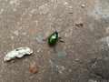 Colorful beetle from Brasília, Brazil in the ground 2.png