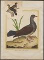 Columba speciosa - 1700-1880 - Print - Iconographia Zoologica - Special Collections University of Amsterdam - UBA01 IZ15600207.tif