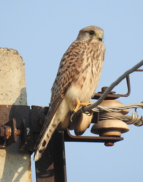 File:Common Kestrel Falco tinnunculus female by Dr. Raju Kasambe DSCN2086 (2).jpg