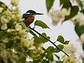 Common Kingfisher (16571692466).jpg