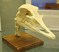 Common Ostrich (Struthio camelus) skull at the Royal Veterinary College anatomy museum.JPG
