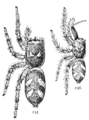 Common Spiders U.S. 155-6.png
