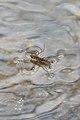 Common Water Striders (Aquarius remigis) Mating - Kitchener, Ontario.jpg