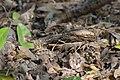Common pauraque Nyctidromus albicollis Texas; cropped version.jpg