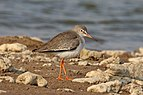 Common redshank (Tringa totanus).jpg