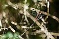 Common whitetail (20882910171).jpg